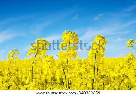 Fabulous beautiful yellow rape flowers on a background of blue sky (anti-stress, meditation - concept) - stock photo