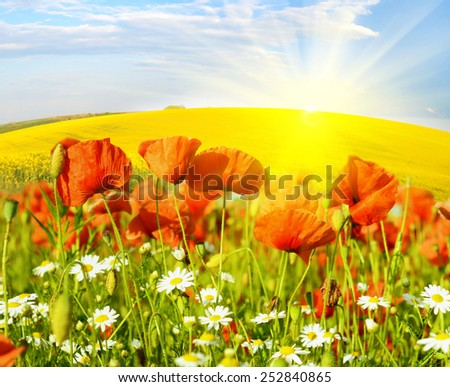 Fabulous landscape of poppies and daisies on a background of rape field in sunlight - stock photo