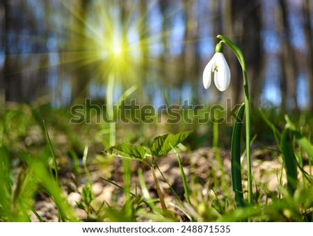 Fabulous landscape of snowdrop flower in the sunlight on the lawn in spring forest - stock photo