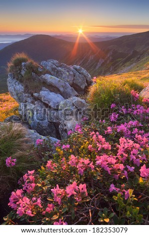 Fabulous sunrise in the mountains. Beautiful summer landscape with flowers of rhododendron. Meadow with red flowers. Carpathian mountains, Ukraine, Europe - stock photo