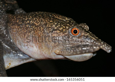 Face and head close-up of a Malayan Softshell Turtle (Dogania subplana) in the rain forests of Borneo. It feeds on snails and other molluscs, crushing their shells with its powerful jaws. - stock photo