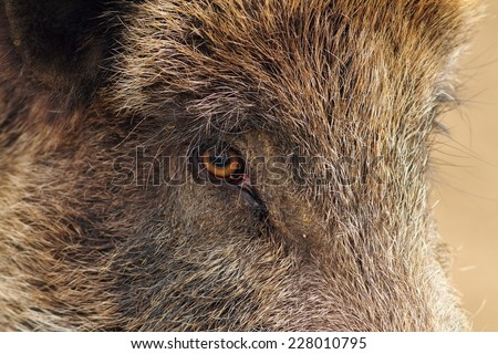 face closeup of a wild boar ( Sus scrofa )
