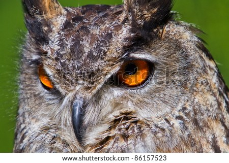 face eagle owl