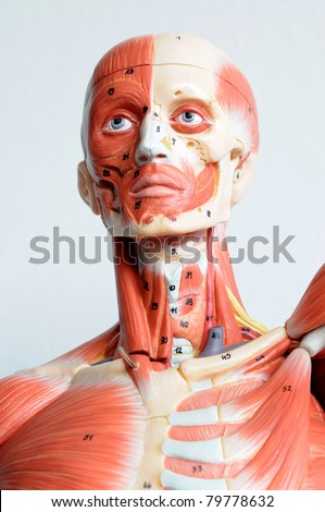 face human anatomy - stock photo