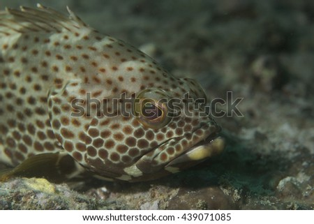 Face of a curious but grumpy Coral Rockcod (Epinephelus corallicola) against black background over a tropical coral reef on the Arabian Sea coast near Fujairah in the United Arab Emirates in Arabia.