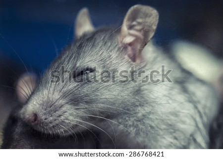 face of a little gray mouse - stock photo