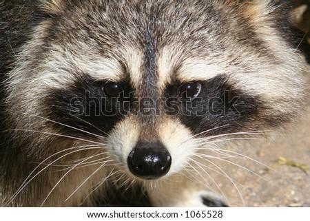 Face of a Raccoon - stock photo