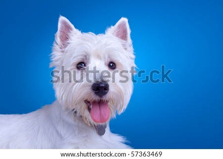 face of a west highland terrier against a blue background - stock photo
