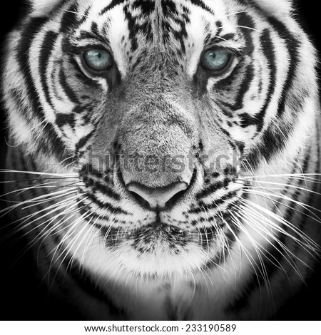 Face of a white bengal tiger, isolated on black background. Mask of the biggest cat. - stock photo