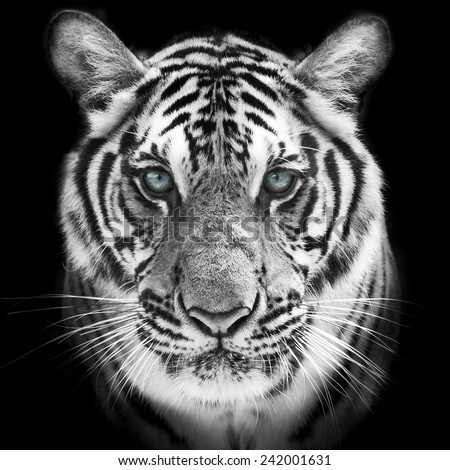 Face of a white bengal tiger, isolated on black background. Mask of the biggest cat. Wild beauty of the most dangerous and mighty beast. - stock photo