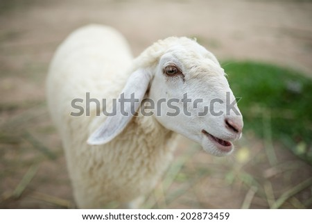 Face of a white lamb looking at you - stock photo