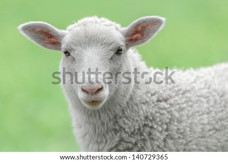 Face of a white lamb looking at you with bright green background - stock photo