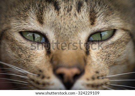 face of American Shorthair cat - stock photo