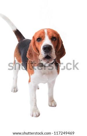 face of beagle dog on white background - stock photo