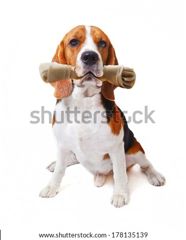 face of beagle dog with rawhide bone in his mouth isolated white background use for cute  animals and lovely pets theme - stock photo