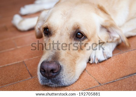 Face of beautiful Labrador retriever close up.
