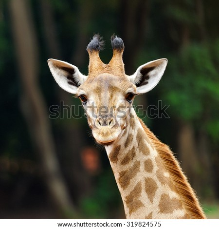 Face of giraffe. - stock photo