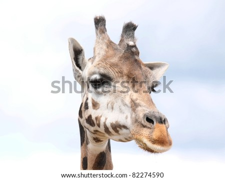 face of giraffe
