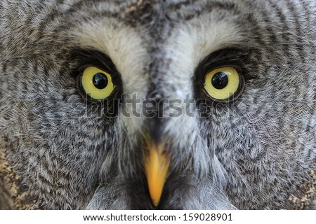 face of Great Grey Owl