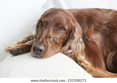 face of Irish Setter on a couch.  - stock photo