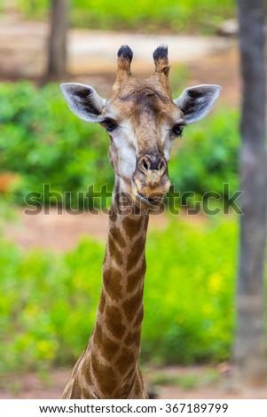 Face of Masai giraffe eating peaks around bush - stock photo