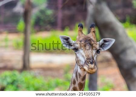 Face of Masai giraffe  peaks around bush - stock photo