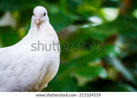 face of Pied Imperial Pigeon bird catch  on the tree - stock photo