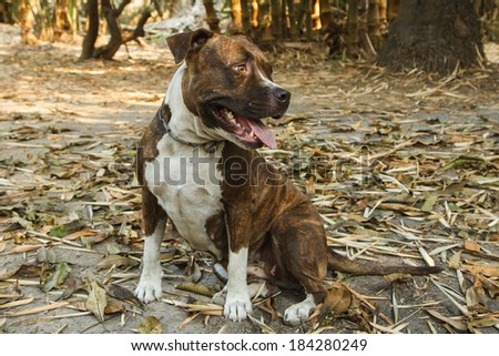 Face of Pitbull dog in background - stock photo