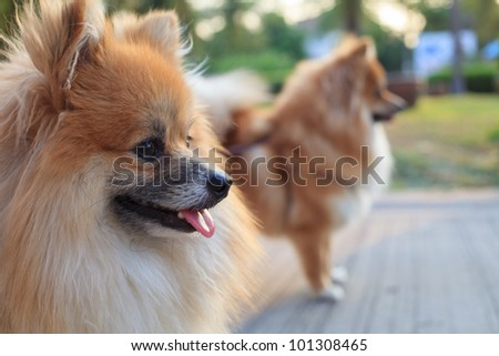 face of pomeranian dogs in home garden - stock photo