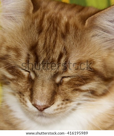 face of shaggy long-haired white red stripped cat with half-closed eyes