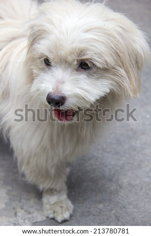 face of Thai dog specie Shih tzu