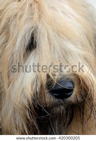 Face of the best friend (Dog of the breed Briard)  - stock photo