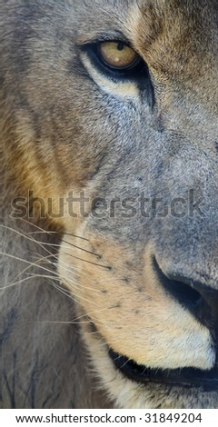 Face of the Lion - stock photo