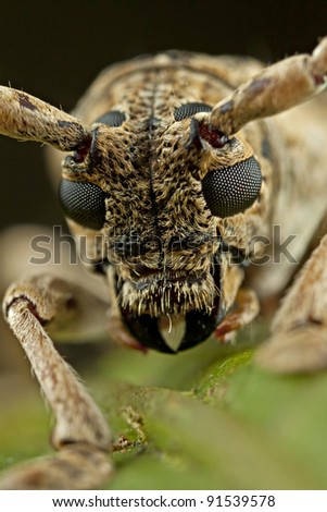 face of the small long-horned beetle - stock photo