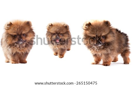 face of three lovely pomeranian dog puppies standing and looking to veiwer isolated on white background use for doggy theme and pets lover - stock photo