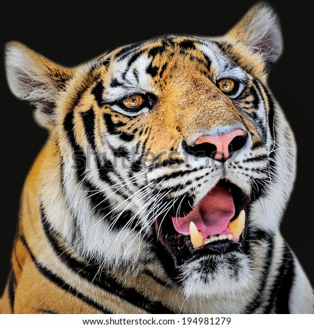 Face of tiger. - stock photo