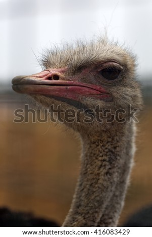Face of wild ostrich with long neck - stock photo
