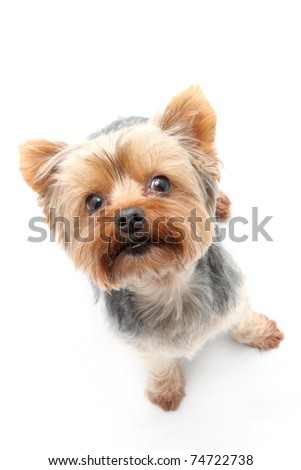 Face of Yorkshire Terrier - stock photo