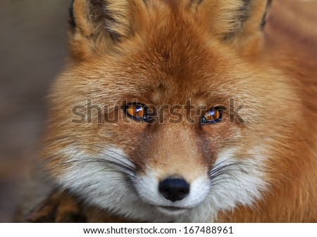 Face portrait of a red fox male, vulpes vulpes. The head a beautiful forest wild beast. Smart look of a dodgy vulpes, skilled raptor and elegant animal. Cute and cuddly creature. - stock photo