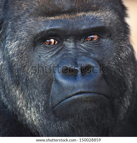 Face portrait of a silverback, gorilla male. Severe chief of the monkey family. Menacing look of a great ape. - stock photo