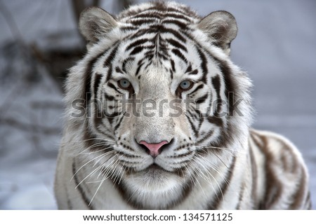 Face to face with white bengal tiger - stock photo