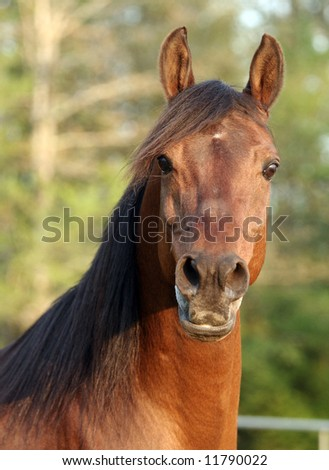 Face view of a Bay Arabian Stallion - stock photo