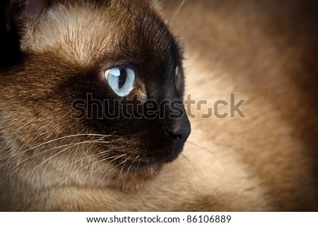 facial close up of cute blue-eyed siamese cat - stock photo
