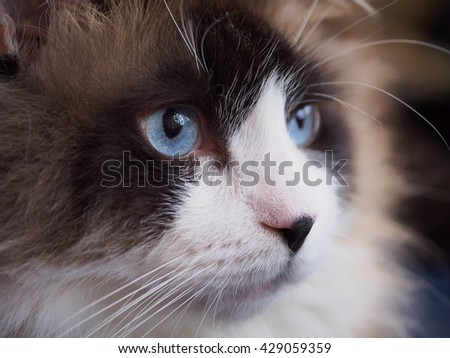Facial Macro of Bi Color Brown White Ragdoll Cat with Blue Eyes and Black Button Nose and Long Whiskers Looking to The Side  - stock photo