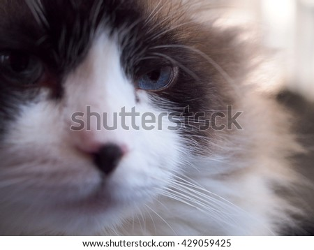 Facial Macro of Long Hair Bi Color Brown White Ragdoll Cat with Blue Eyes and Black Button Nose and Long Whiskers Looking to The Side  - stock photo