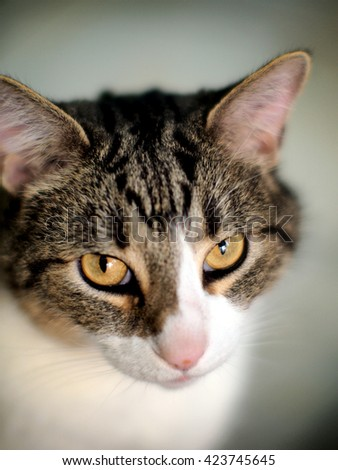 Facial Portrait of Adorable Domestic Short Hair Brown White Tabby Cat with Bright Yellow Eyes Staring Into Camera - stock photo