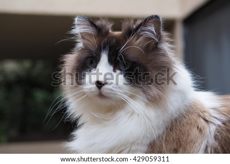 Facial Portrait of Regal Long Hair Bi Color Brown White Ragdoll Cat with Blue Eyes and Black Button Nose and Long Whiskers Sitting on Ledge  - stock photo