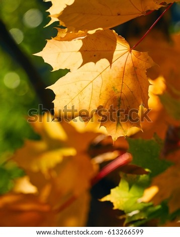 Faded autumn leaves of maple tree in direct sunlight in fall.