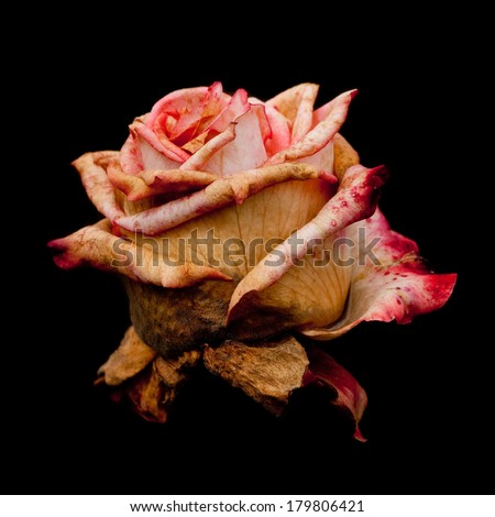 Faded Grimaldi rose, isolated on black (square, 1x1) - stock photo