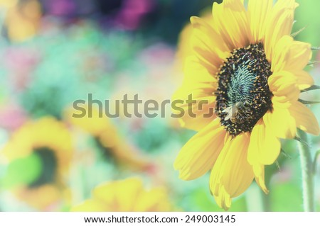 Faded instagram Pretty Yellow Sunflower with Honey Bee in colorful flower garden with room or space for copy, text, your words.  Horizontal vintage camera processing  - stock photo